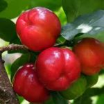OS 6 Beneficios da Acerola Para a Saúde