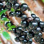 Emagreça: Suco de Jabuticaba