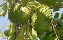 Chá da Folhas de Graviola Contra o Câncer e Outro Tipo de Doença