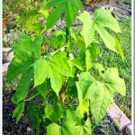 Chaya→ Benefícios e Propriedades Desta Planta Medicinal